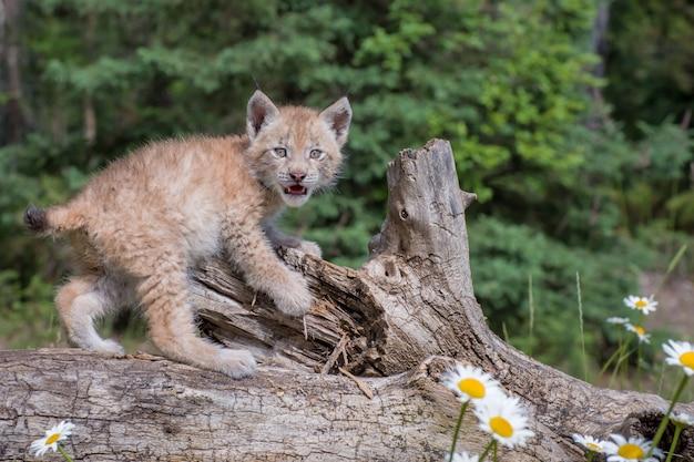 Siberian lynx cub kitten climbing over a fallen log, looking at the photographer