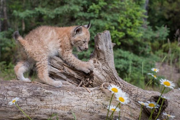 Siberian lynx cub kitten climbing over a fallen log