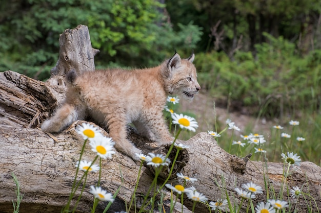 Котенок сибирской рыси сидит на бревне и окружен ромашками