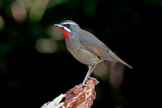 Siberian rubythroat beautiful male birds of thailand