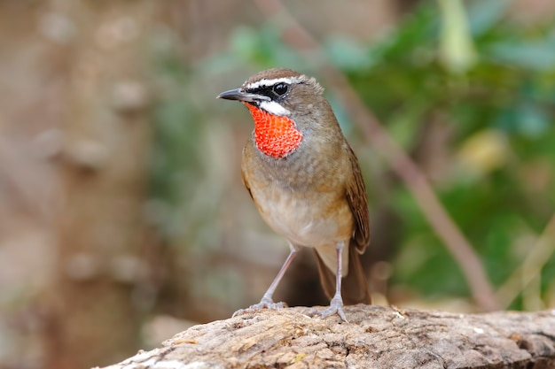 Siberian rubythroat calliope calliope beautiful male birds of thailand