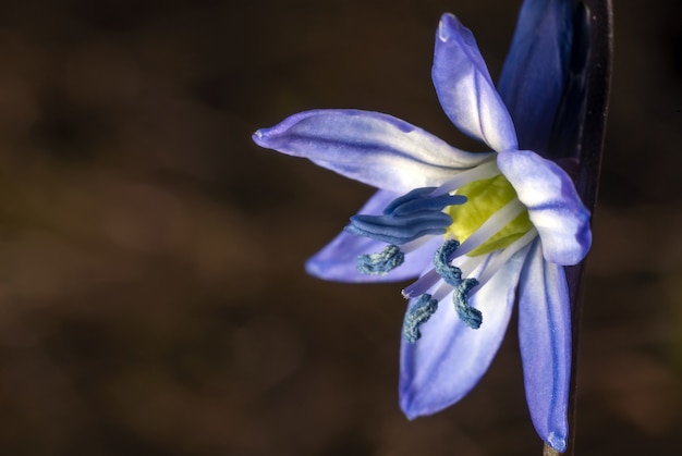 Siberian squill under the sunlight with a blurred background