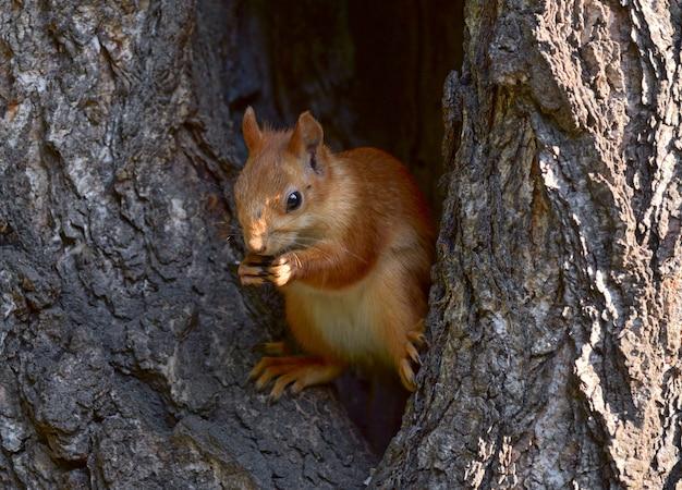Siberian squirrel sits in a large hollow tree fluffy small feet big eyes half a turn wildlife