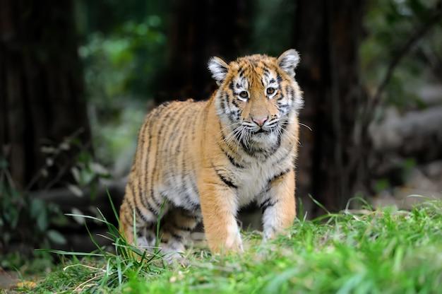 Сибирский тигренок в траве