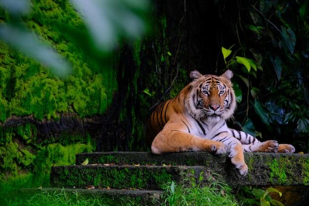 Siberian tiger (panthera tigris altaica), also known as the amur tiger
