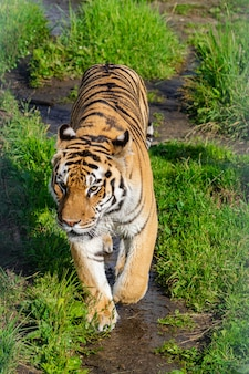 Siberian tiger, (panthera tigris altaica), walking along a dirt road with vegetation, with afternoon sunlight