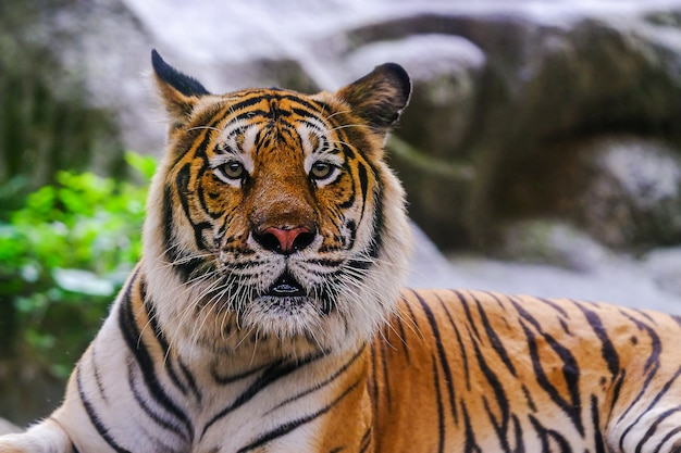 The siberian tiger (panthera tigris tigris) also called amur tiger