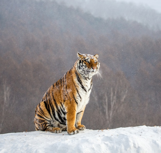 シベリアトラは、冬の森を背景に雪に覆われた丘の上に座っています。シベリア虎林園。