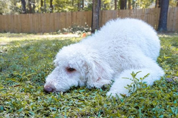 Больная и грустная собака золотого каракули ищет уединения и лежит на траве заднего двора. концепция домашних животных.