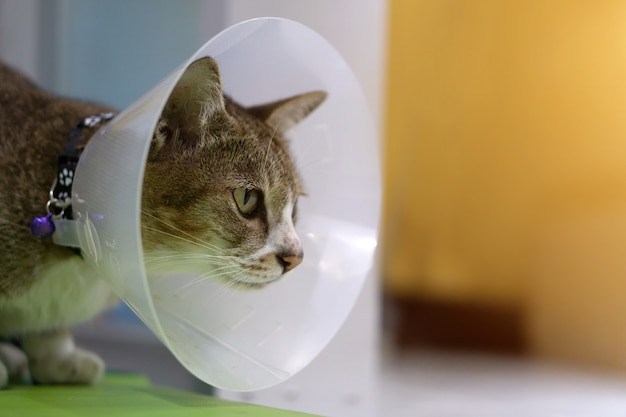 Sick cat with veterinary cone on its head to protect cat from licking a wound.