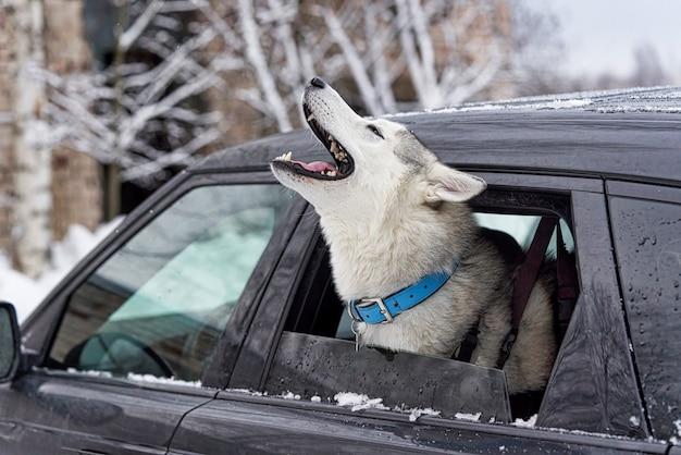 病気の犬が車の窓から頭を突き出して遠吠えし、泣き言を言う