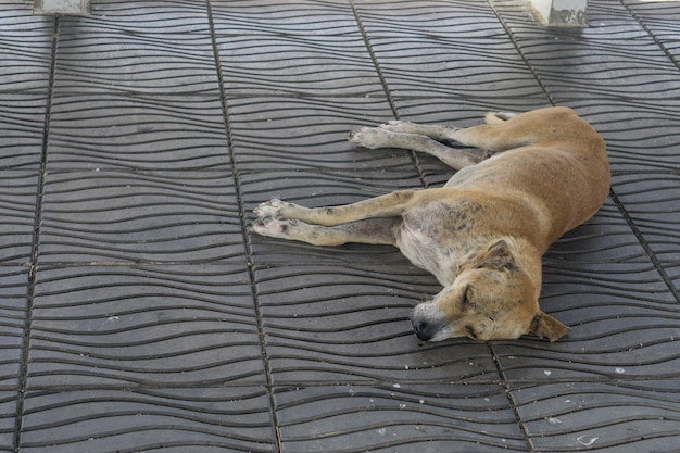 Sick dog need helping live on the street., homeless stray thai dog leper
