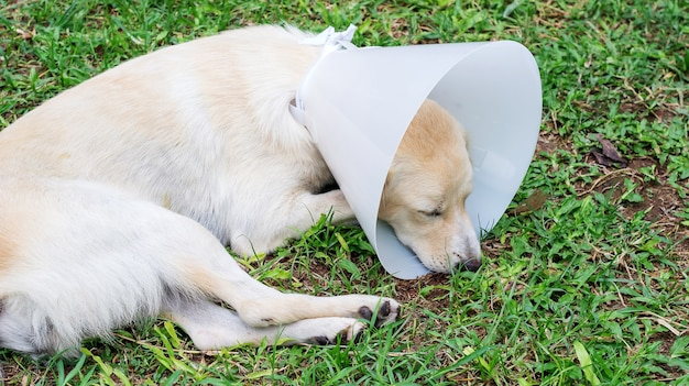 Sick dog wearing a funnel collar and lying on a grass.