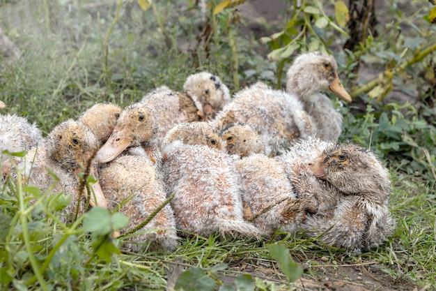 Больные домашние утки сидят на траве на домашней ферме