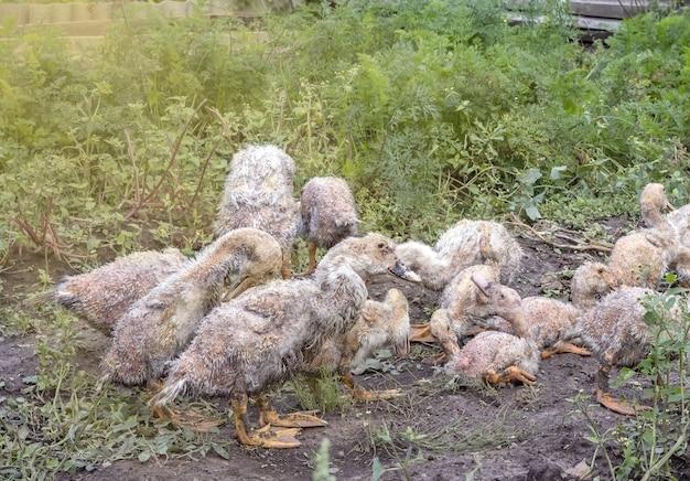Больные утята муларда пасутся на лугу в саду