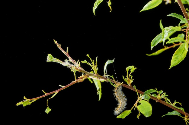 Sick spring plant. branch plum with pests. on the branch of a plum gusenica and spider mites.