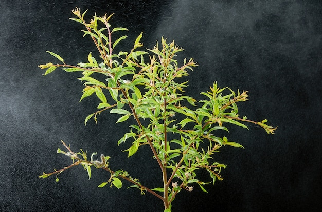 Sick spring plant on a dark with drops . plum branch with pests. on a branch of plum caterpillar and spider mites.