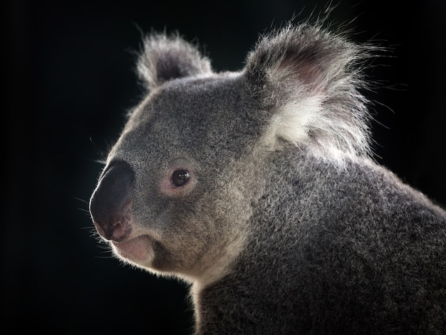 Side face of a koala on black