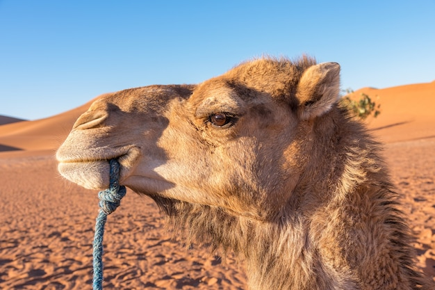 A side profile of a camel with a rope in its mouth and a desert landscape