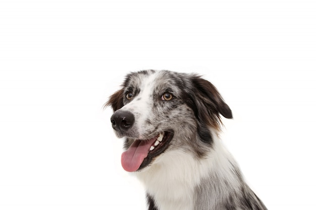 Side profile happy blue merle border collie with white tooth. isolated