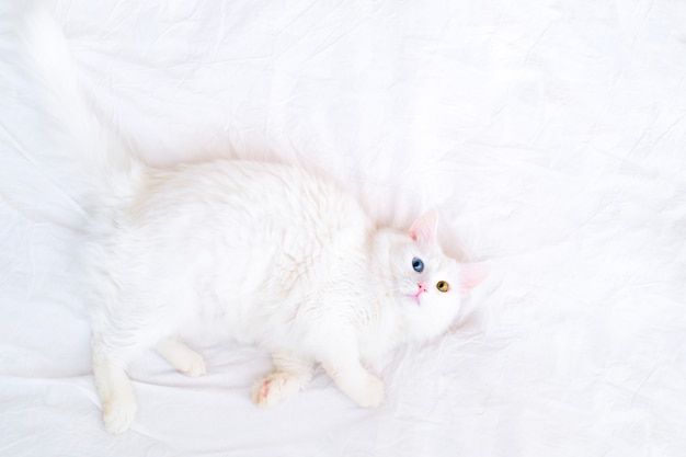 Side top view on funny white cat with different color eyes lying on white bed and looking up at camera. cat sleep and dreams. copyspace for text. turkish angora kittten with blue and green eyes.