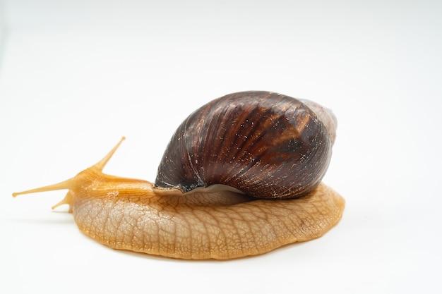 측면보기. 흰색 배경에 큰 땅 달팽이입니다. 특이한 애완 동물. 틀에 얽매이지 않는 미용과 의학.