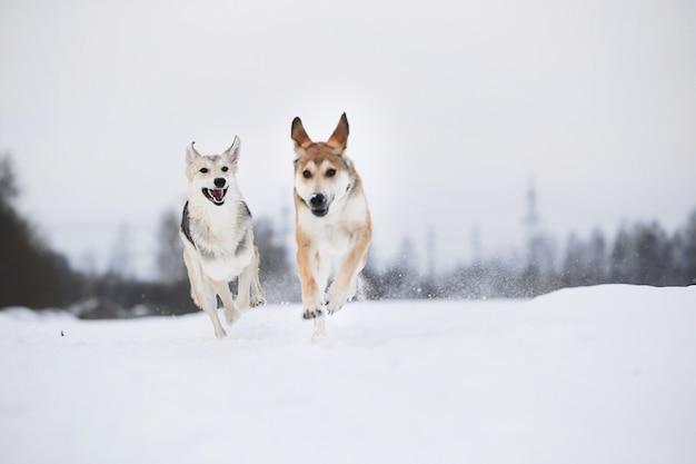 Вид сбоку на две собаки, играющие и бегущие друг к другу на снежном поле зимой