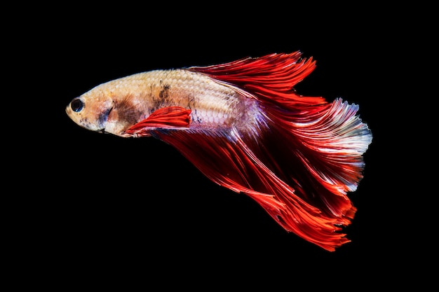 Side view beautiful betta fish isolated black background