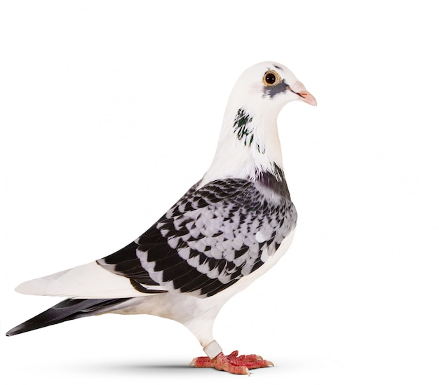 Side view of beautiful homing pigeon standing on white