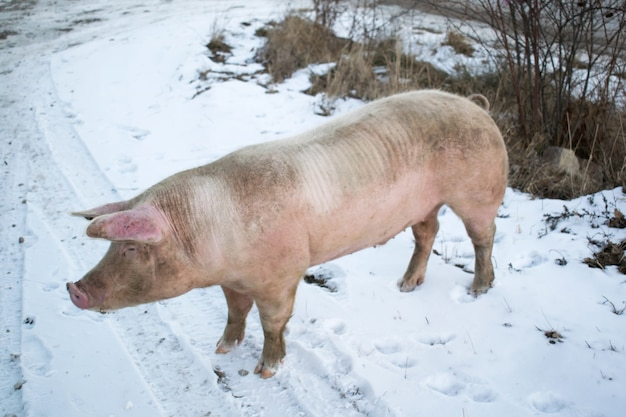 Side view of a big pig on snow