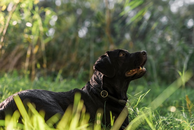Side view of black labrador in meadow