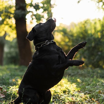 Side view of a black labrador retriever leaping in forest