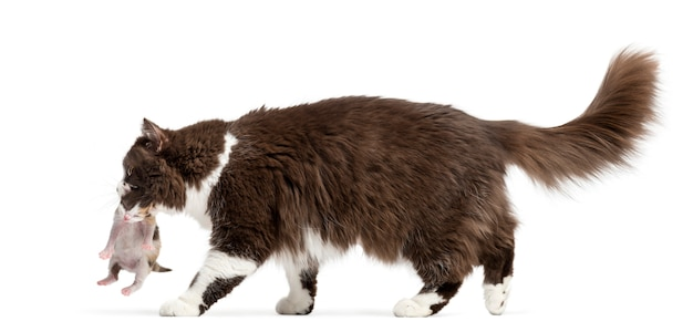Side view of a british longhair walking carrying kitten isolated on white