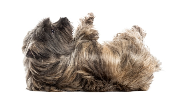 Side view of a cairn terrier lying on its back