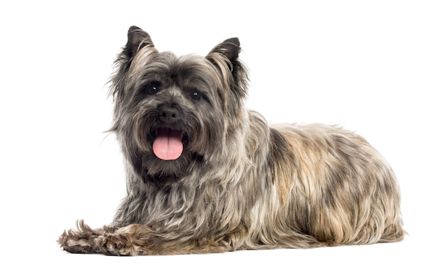 Side view of a cairn terrier panting isolated on white