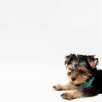 Side view of charming yorkshire terrier puppy with copy space
