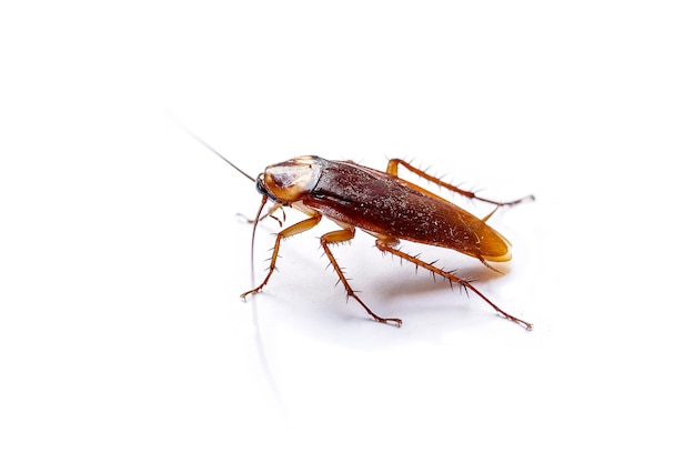 The side view cockroach thailand isolated on white background, copy space.
