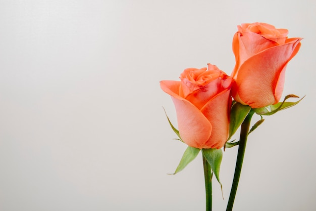 Side view of coral color roses isolated on white background with copy space