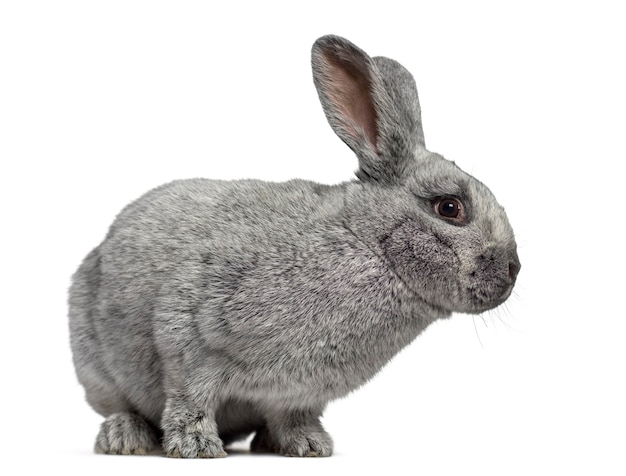 Side view of a cute argente rabbit isolated on white