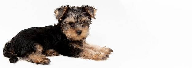 Side view of cute yorkshire terrier puppy
