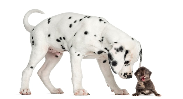 Side view of a dalmatian puppy sniffing a kitten meowing, isolated