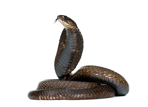 Side view of egyptian cobra, naja haje isolated