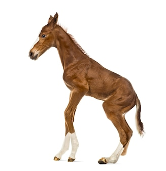 Side view of a foal standing up and balancing