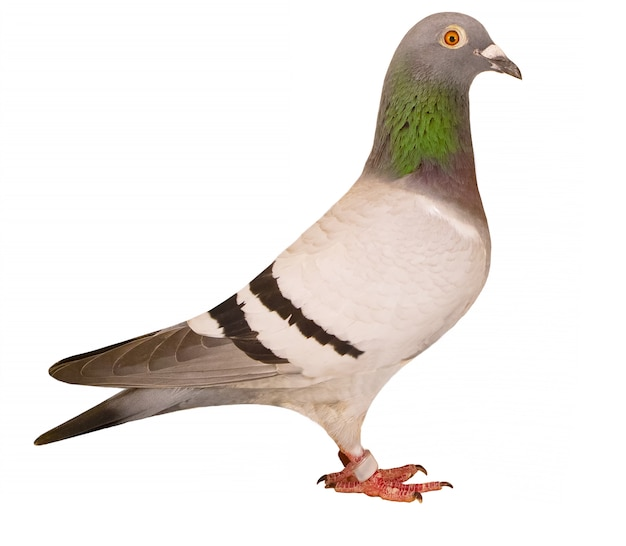 Side view full body of speed racing pigeon isolated