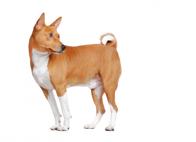 Side view full length portrait of a basenji dog in a white  looking back
