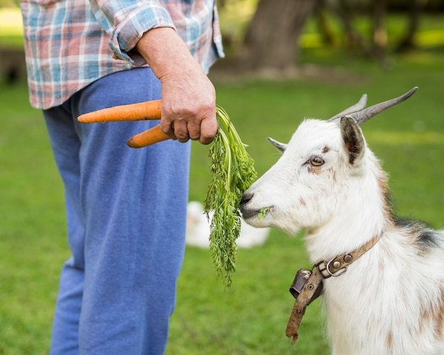 Side view goat eating carrots