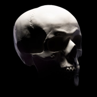 Side view of gypsum model of the human skull isolated on black