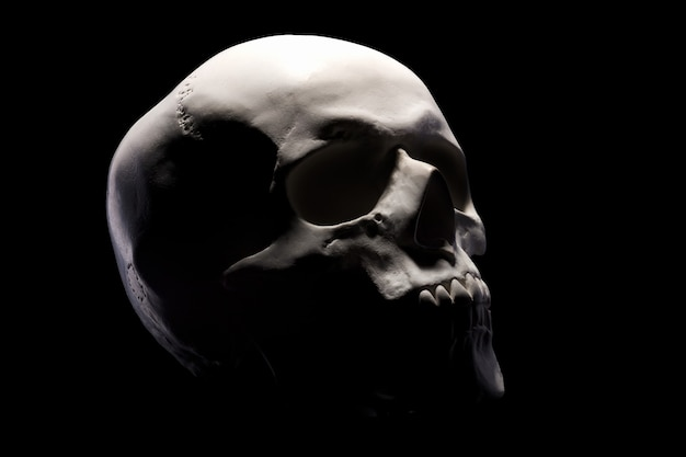 Side view of gypsum model of the human skull