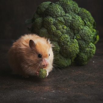 Side view hamster eating broccoli in bowl on dark brown.