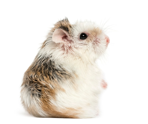 Side view of a hamster, isolated on white